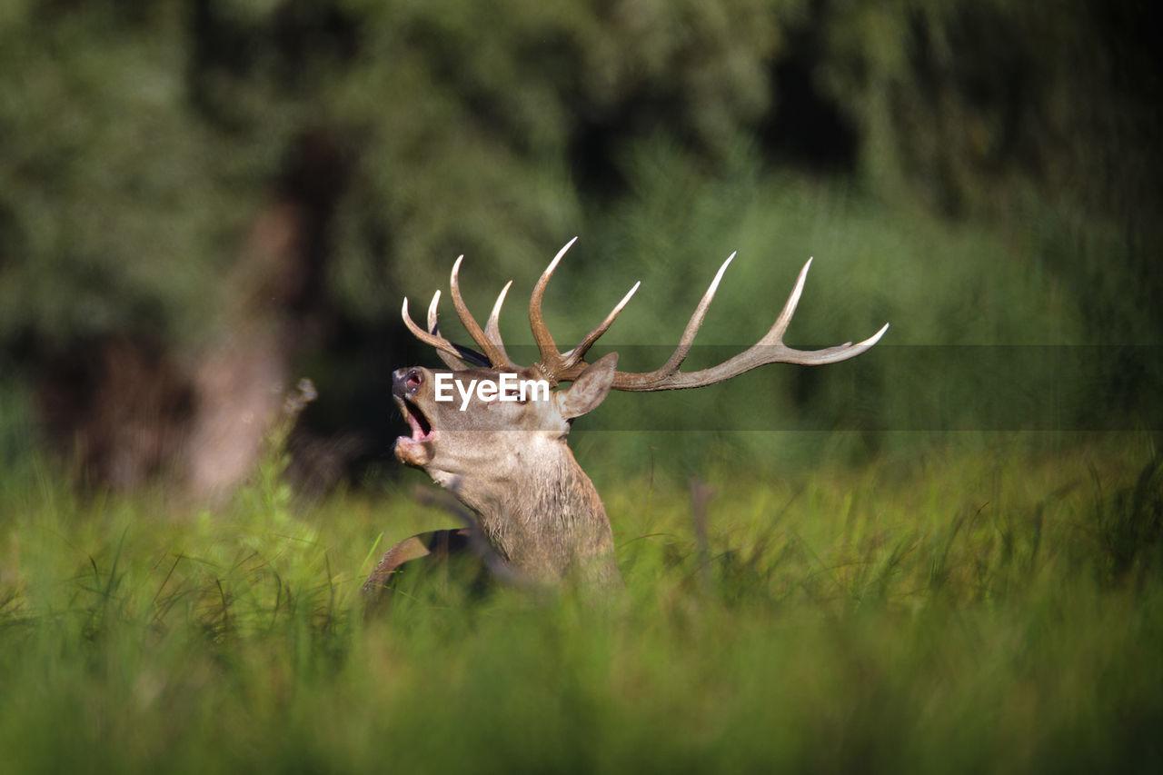 Deer rut in kopacki rit, croatia