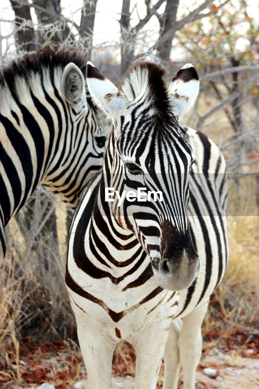 striped, animals in the wild, zebra, animal wildlife, animal themes, day, outdoors, nature, one animal, no people, animal markings, safari animals, close-up, portrait, mammal