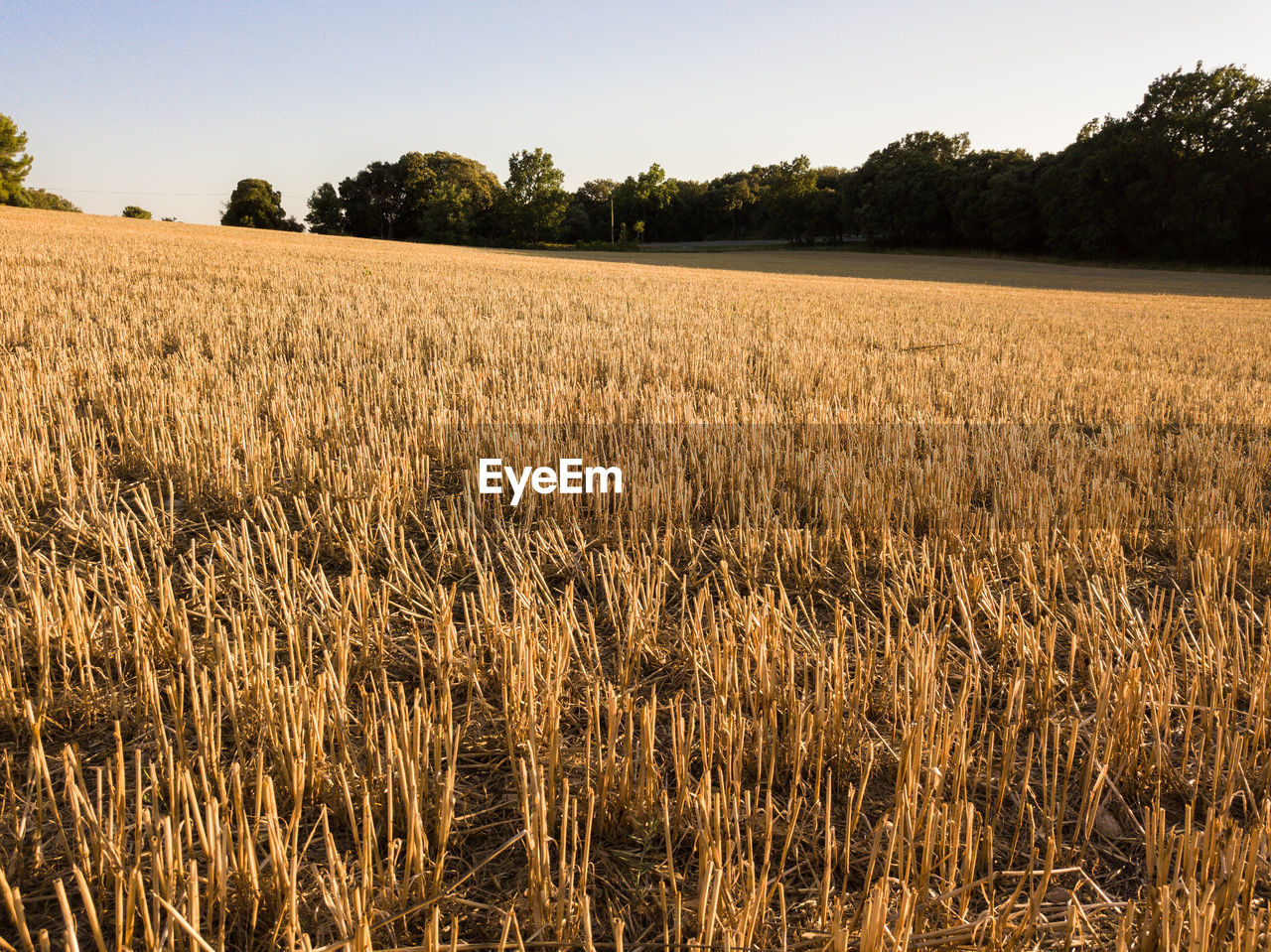 tranquility, landscape, field, rural scene, growth, plant, sky, agriculture, tranquil scene, land, beauty in nature, environment, scenics - nature, crop, no people, nature, day, tree, cereal plant, farm, outdoors, stalk, plantation