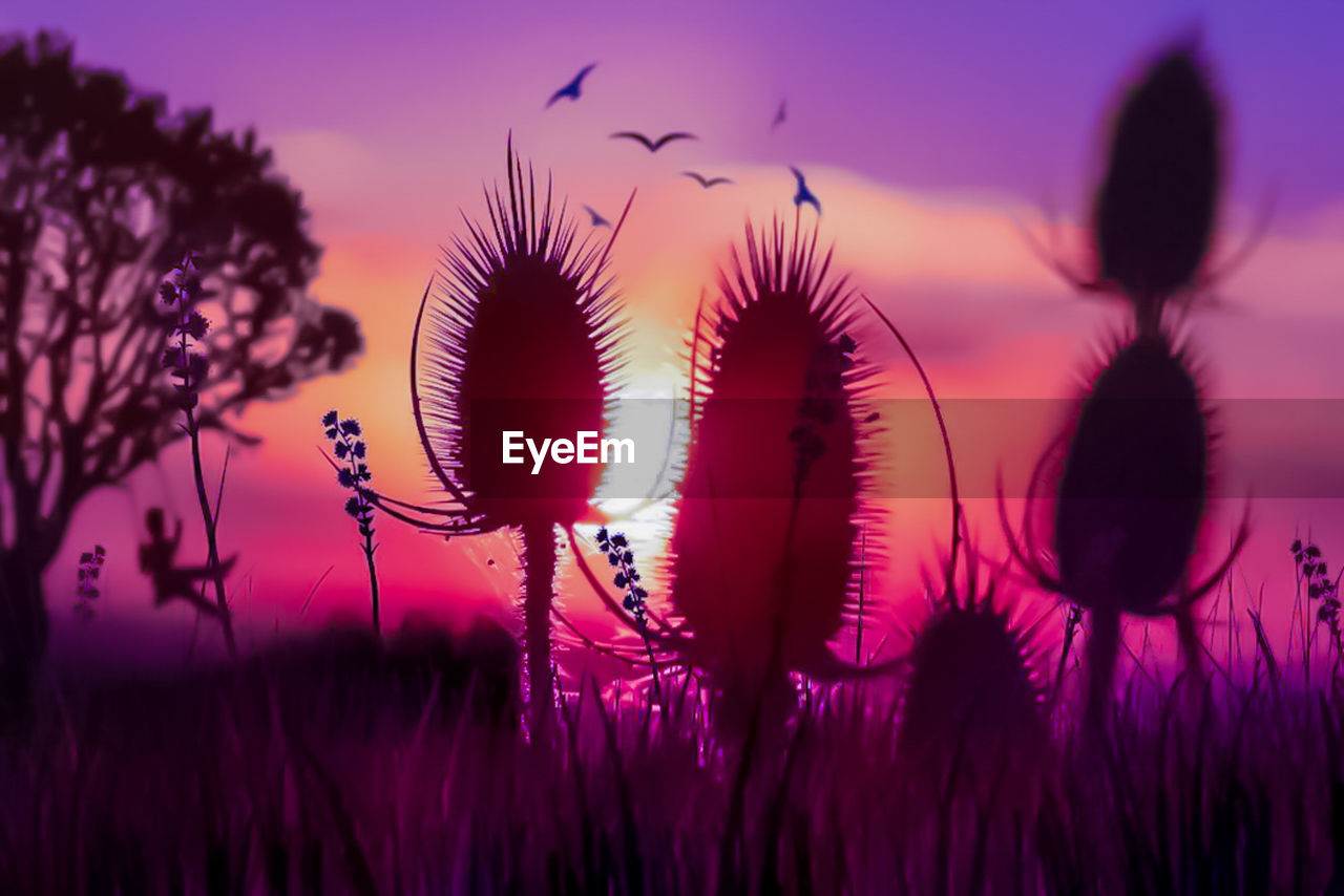 growth, plant, nature, sunset, beauty in nature, no people, sky, purple, field, flower, fragility, outdoors, silhouette, close-up, freshness, thistle, flower head, day