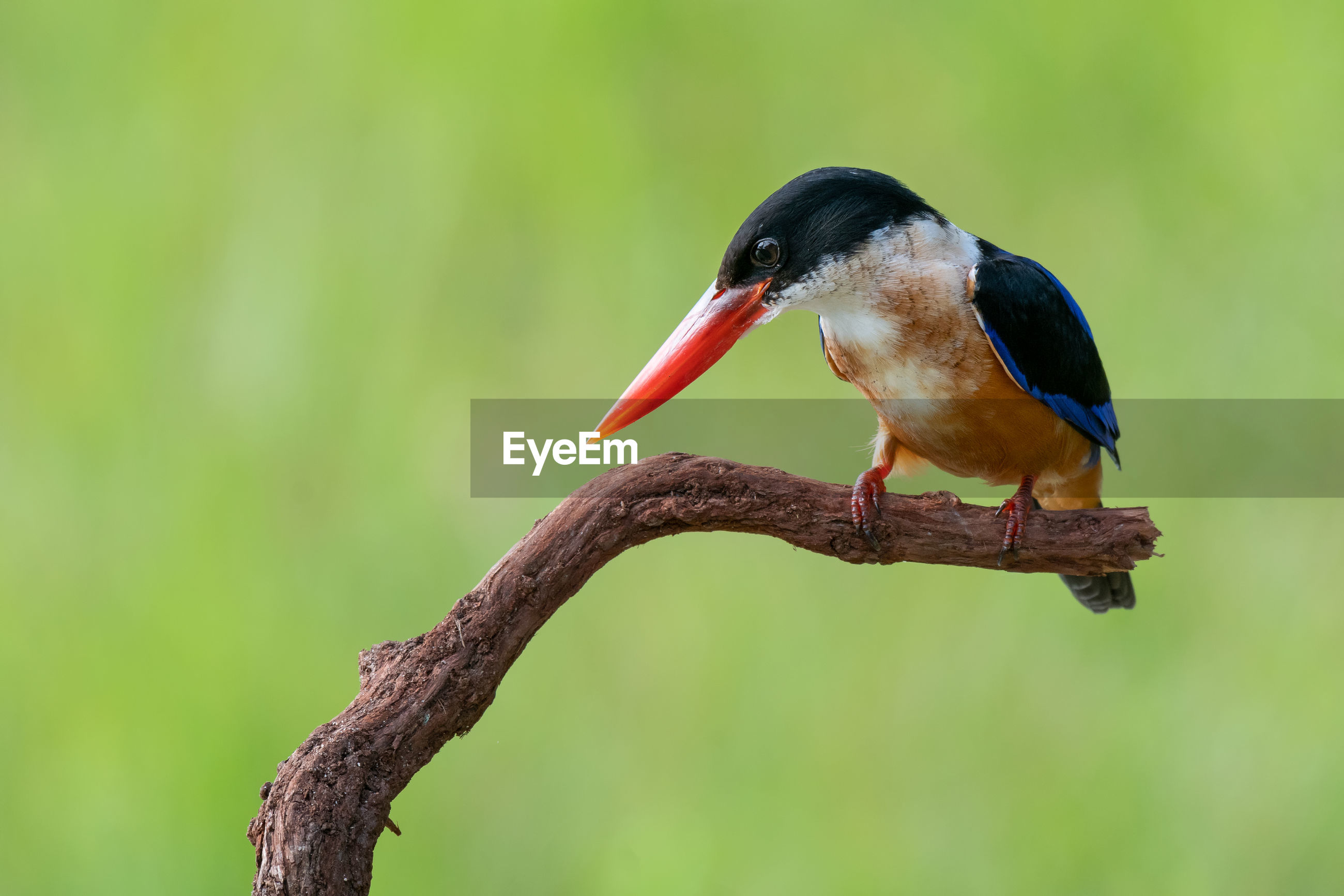 Close-up of black capped kingfisher  bird perching on a branch