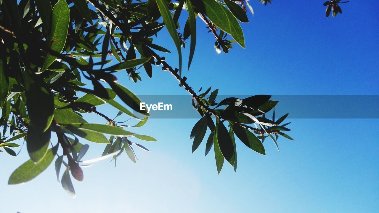 leaf, low angle view, tree, growth, day, nature, blue, branch, no people, beauty in nature, outdoors, clear sky, green color, plant, palm tree, sky, freshness