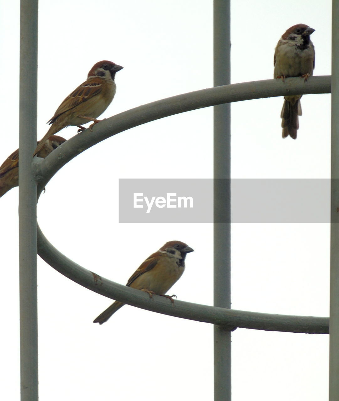 vertebrate, animal themes, bird, animal, animal wildlife, perching, animals in the wild, group of animals, two animals, no people, day, outdoors, nature, low angle view, sparrow, sky, songbird, clear sky, zoology