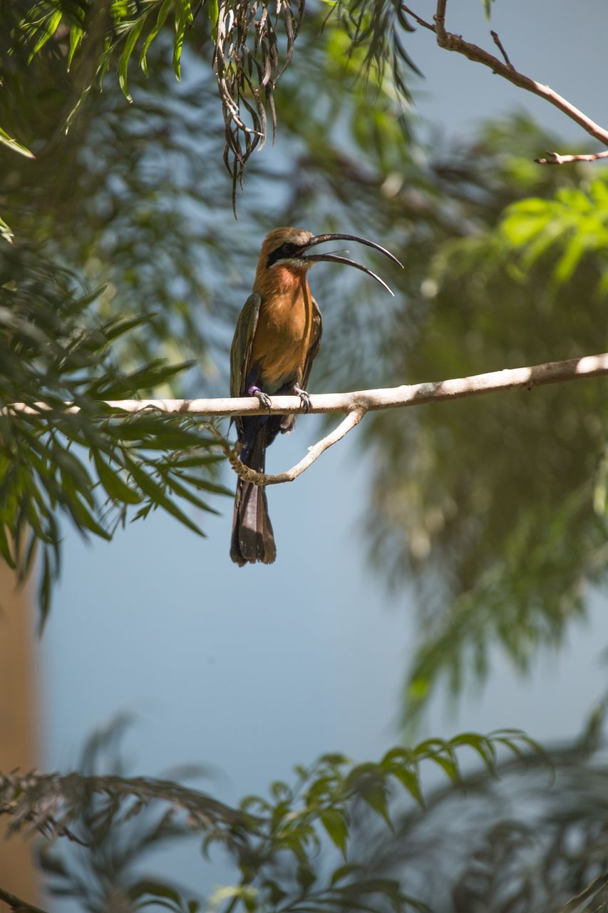 animal wildlife, tree, bird, vertebrate, animal themes, one animal, animals in the wild, animal, plant, branch, perching, nature, low angle view, no people, day, focus on foreground, leaf, outdoors, plant part, selective focus