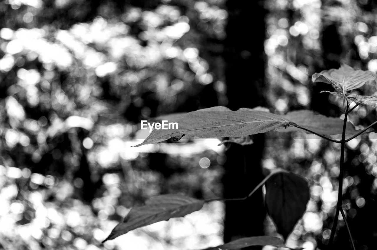 leaf, focus on foreground, nature, autumn, outdoors, day, no people, tree, close-up, beauty in nature, fragility, maple