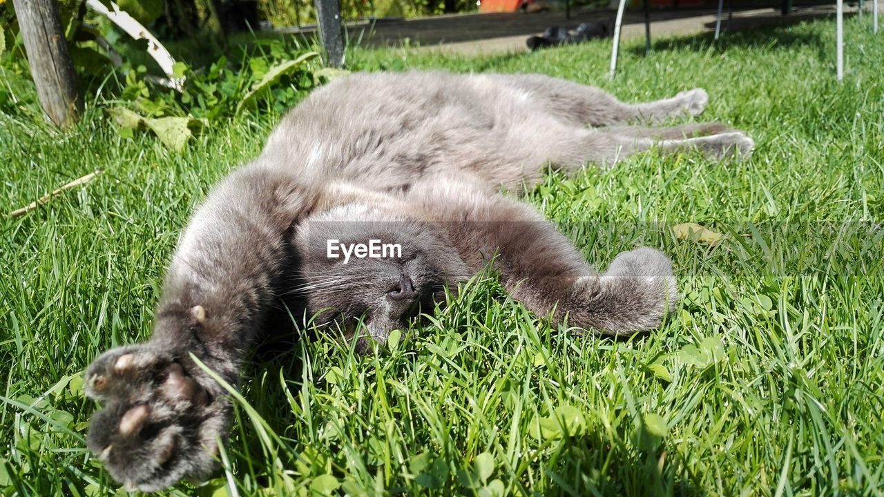 grass, animal themes, mammal, growth, nature, one animal, no people, domestic cat, outdoors, day, domestic animals