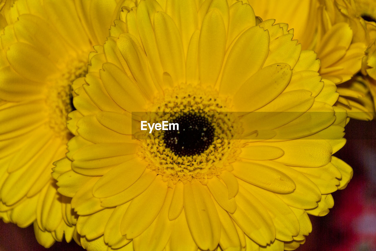 yellow, flower, petal, fragility, flower head, beauty in nature, nature, freshness, close-up, sunflower, no people, pollen, plant, growth, indoors, day