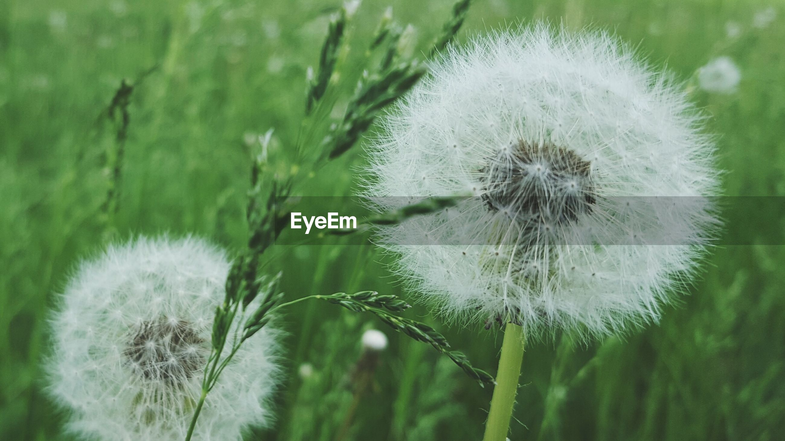 dandelion, flower, growth, fragility, freshness, beauty in nature, flower head, close-up, nature, focus on foreground, softness, plant, stem, wildflower, uncultivated, white color, single flower, field, day, outdoors
