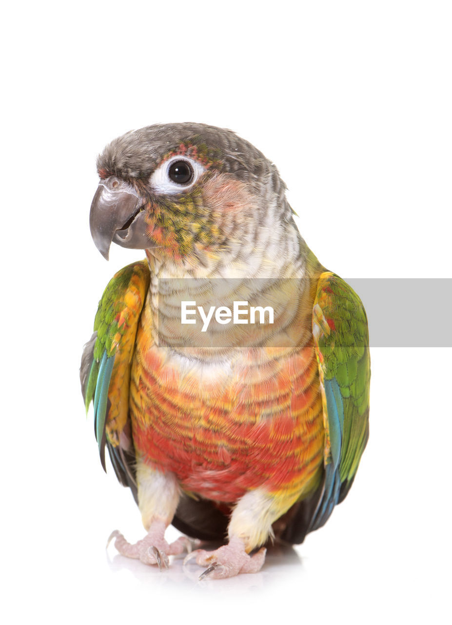 bird, vertebrate, animal, animal themes, animal wildlife, white background, studio shot, animals in the wild, parrot, perching, close-up, one animal, indoors, no people, cut out, green color, nature, copy space, looking, beak