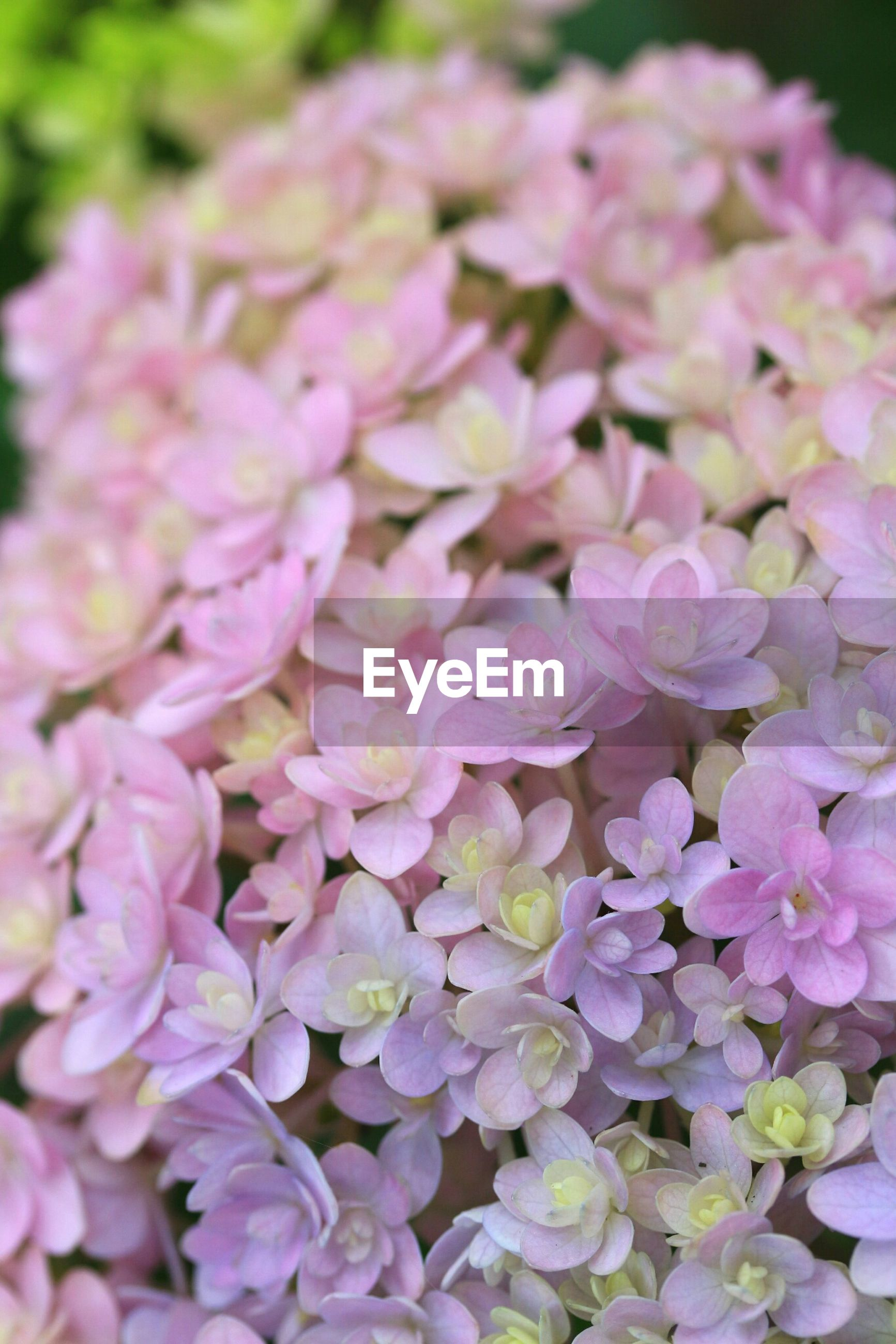 flower, freshness, petal, fragility, beauty in nature, growth, flower head, pink color, nature, blooming, close-up, plant, focus on foreground, in bloom, selective focus, park - man made space, outdoors, pink, blossom, botany