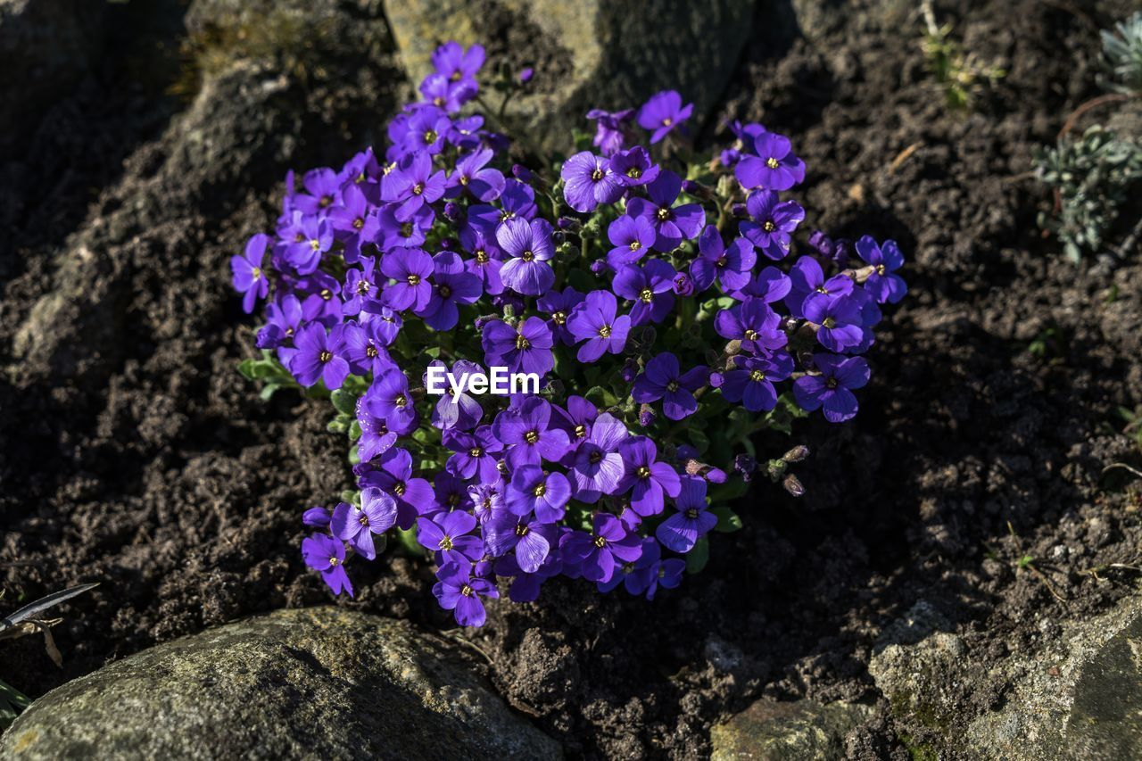 purple, beauty in nature, flower, nature, fragility, outdoors, day, no people, freshness, growth, petal, close-up, plant, flower head, blooming