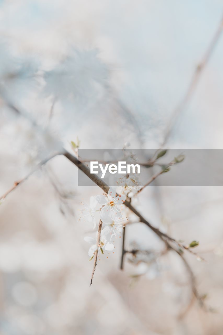 flower, plant, flowering plant, fragility, vulnerability, close-up, beauty in nature, selective focus, growth, tree, white color, nature, freshness, branch, no people, blossom, day, springtime, focus on foreground, outdoors, cherry blossom, flower head, cherry tree