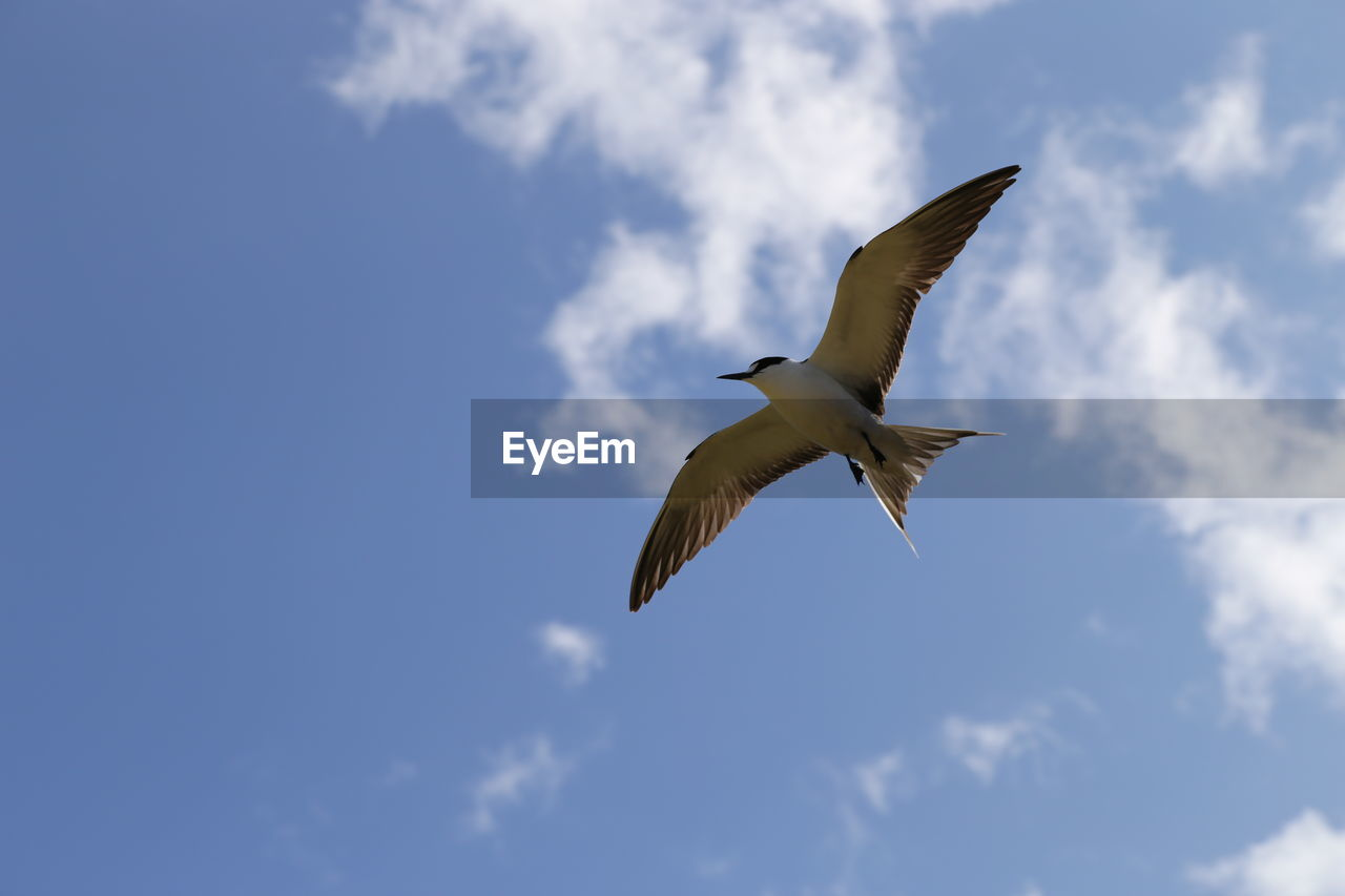 flying, sky, cloud - sky, spread wings, bird, low angle view, animal wildlife, animals in the wild, mid-air, vertebrate, animal themes, animal, one animal, no people, nature, day, motion, blue, outdoors, beauty in nature, seagull
