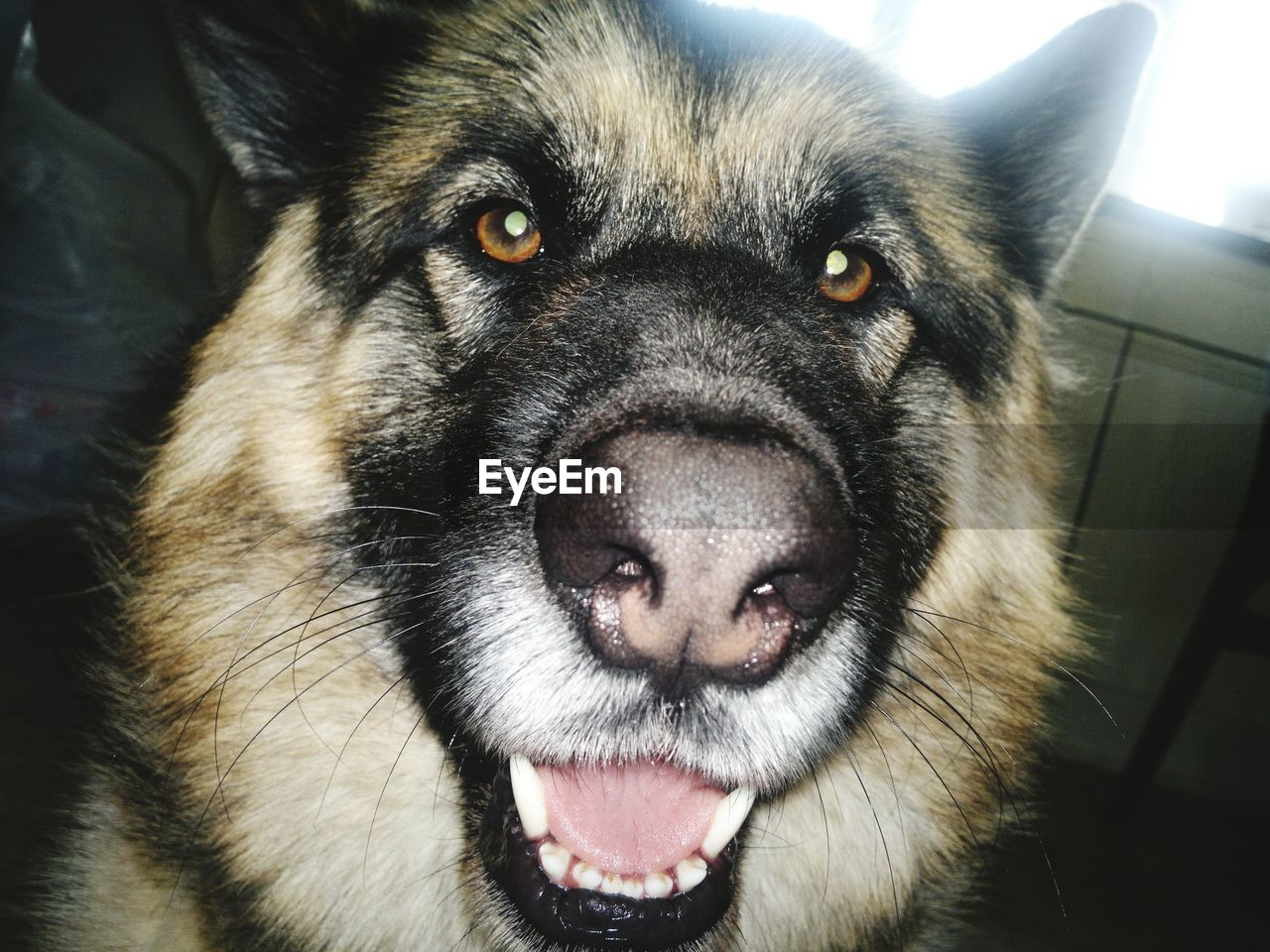 one animal, pets, domestic, canine, domestic animals, dog, mammal, looking at camera, portrait, vertebrate, close-up, animal body part, no people, mouth, mouth open, animal tongue, animal nose, animal mouth, snout