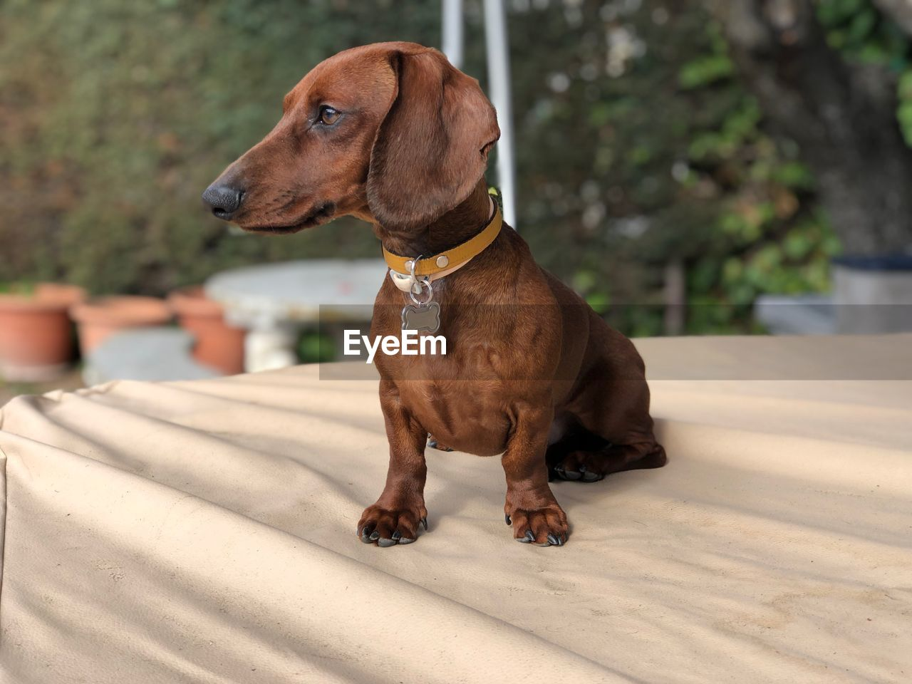 dog, canine, one animal, domestic animals, animal, animal themes, mammal, pets, domestic, vertebrate, looking, looking away, focus on foreground, sitting, brown, no people, day, collar, pet collar, outdoors