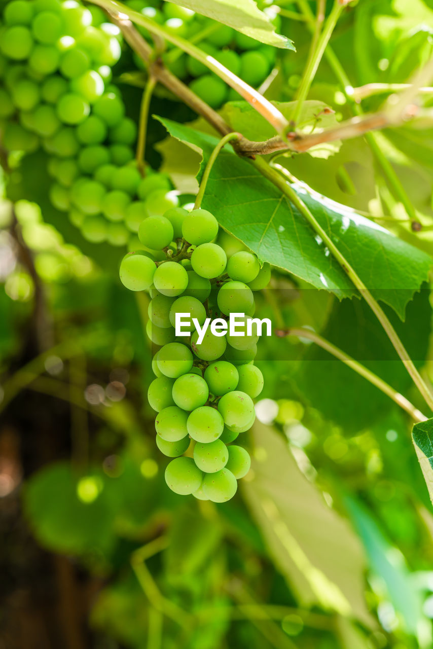 green color, growth, plant, leaf, plant part, healthy eating, close-up, food, food and drink, beauty in nature, nature, freshness, fruit, no people, day, focus on foreground, agriculture, wellbeing, tree, outdoors, plantation