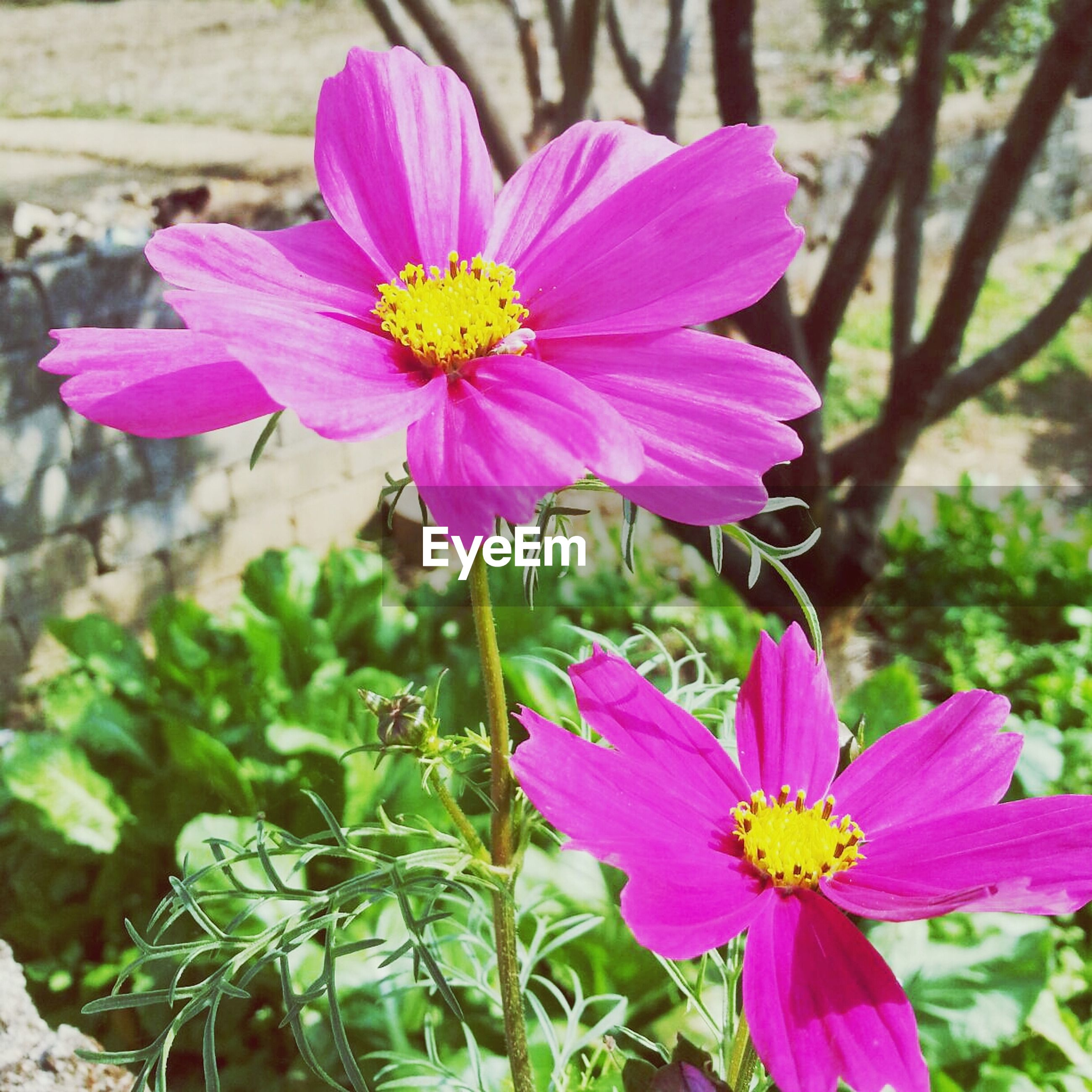 flower, petal, freshness, fragility, flower head, growth, beauty in nature, pink color, focus on foreground, blooming, pollen, close-up, nature, plant, stamen, in bloom, blossom, day, outdoors, no people