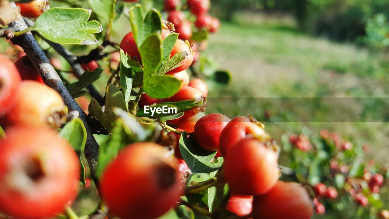 growth, fruit, food and drink, nature, red, plant, selective focus, growing, outdoors, food, green color, freshness, day, no people, leaf, beauty in nature, healthy eating, close-up, tree