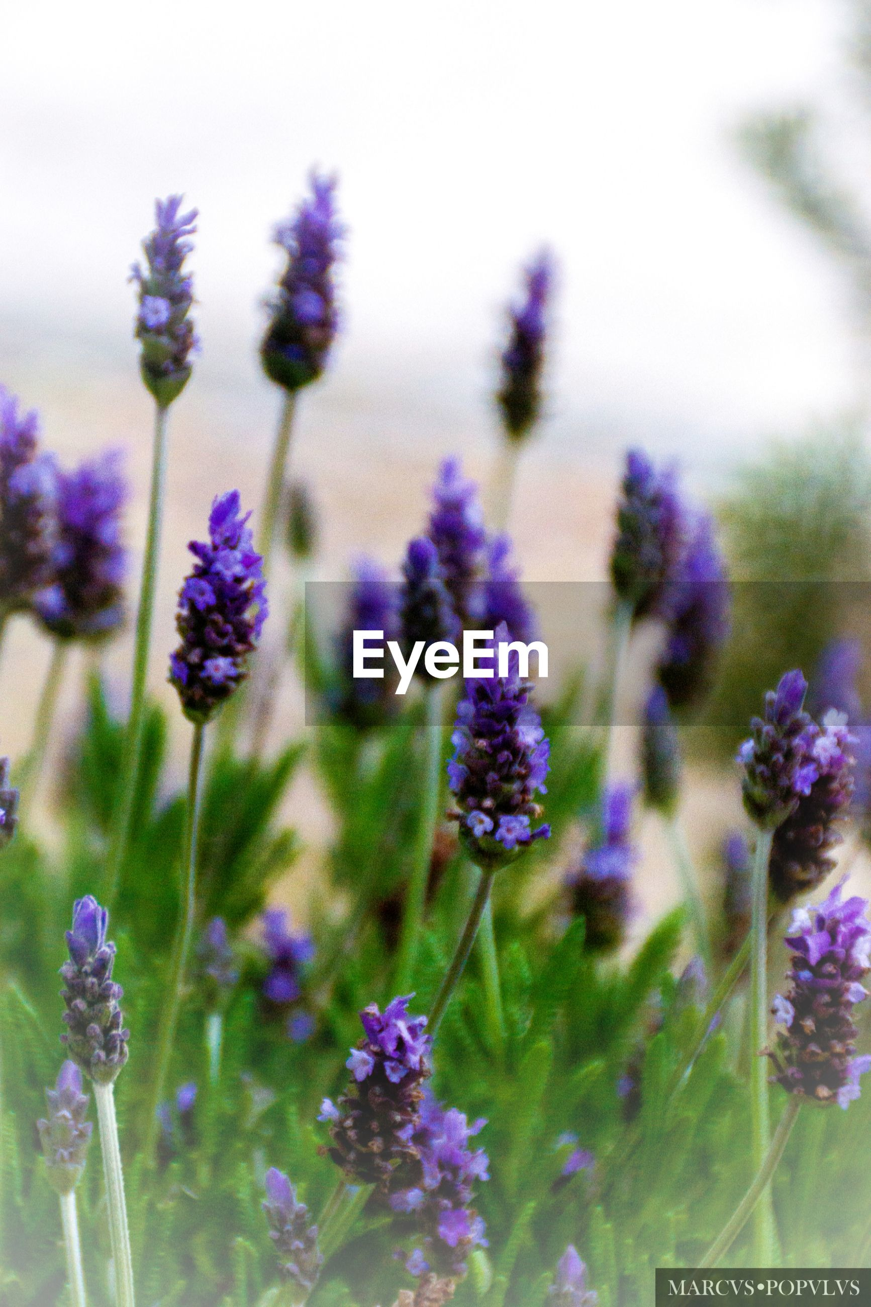 flowering plant, flower, plant, vulnerability, fragility, freshness, growth, beauty in nature, close-up, purple, nature, selective focus, field, lavender, no people, day, focus on foreground, petal, land, plant stem, flower head, outdoors
