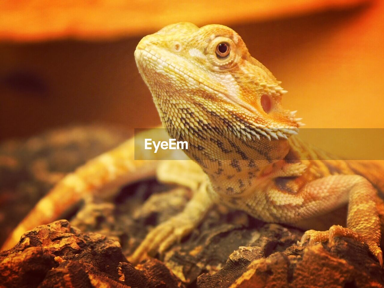 animal themes, animal, one animal, animal wildlife, lizard, vertebrate, reptile, animals in the wild, close-up, bearded dragon, no people, focus on foreground, orange color, looking away, nature, animal body part, indoors, looking, selective focus, animal head, animal scale, animal eye
