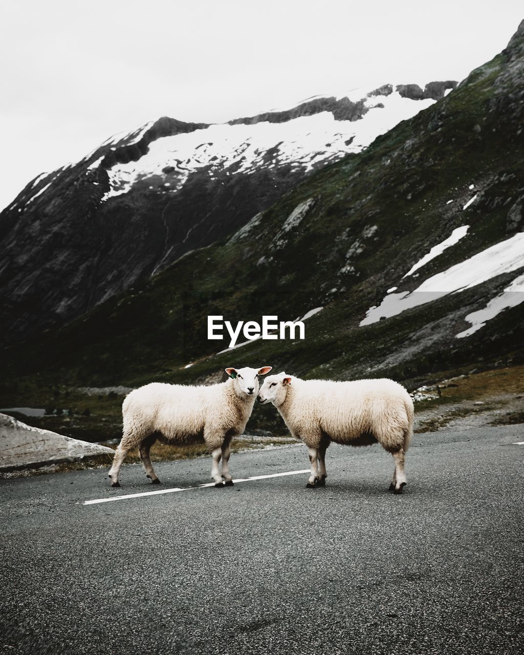 Sheep Standing On Road Against Mountains