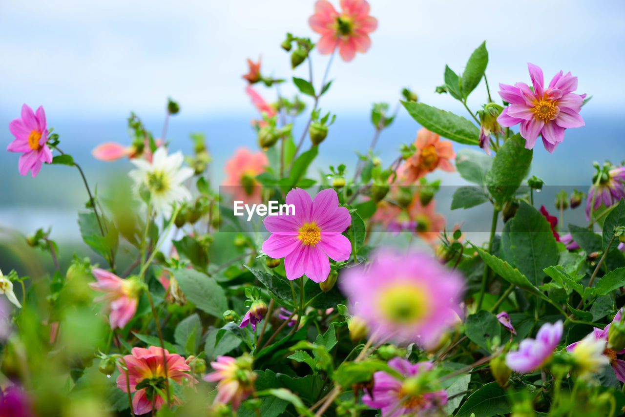 flowering plant, flower, plant, freshness, fragility, beauty in nature, vulnerability, growth, petal, close-up, flower head, inflorescence, pink color, nature, no people, cosmos flower, selective focus, day, green color, field, outdoors, purple
