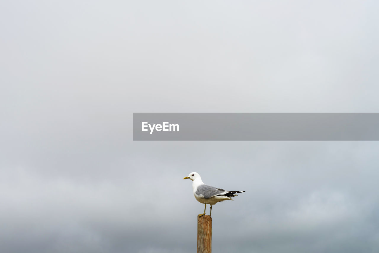 bird, vertebrate, animal themes, animal, animals in the wild, animal wildlife, one animal, perching, sky, seagull, day, no people, nature, copy space, cloud - sky, side view, low angle view, sea bird, outdoors, beak, wooden post