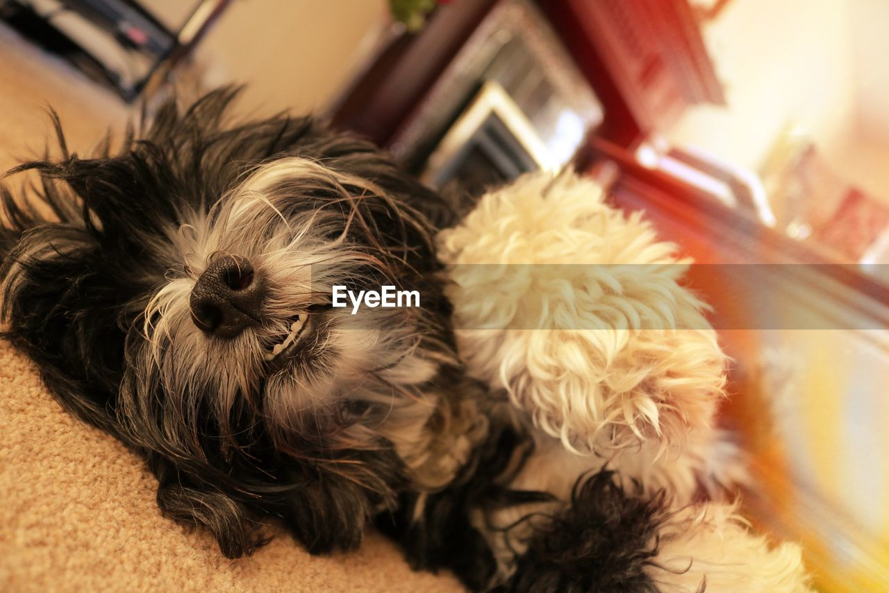 domestic, pets, domestic animals, one animal, animal themes, mammal, animal, dog, canine, vertebrate, indoors, animal hair, relaxation, hair, home interior, no people, focus on foreground, lap dog, home, close-up, shih tzu, small, animal head