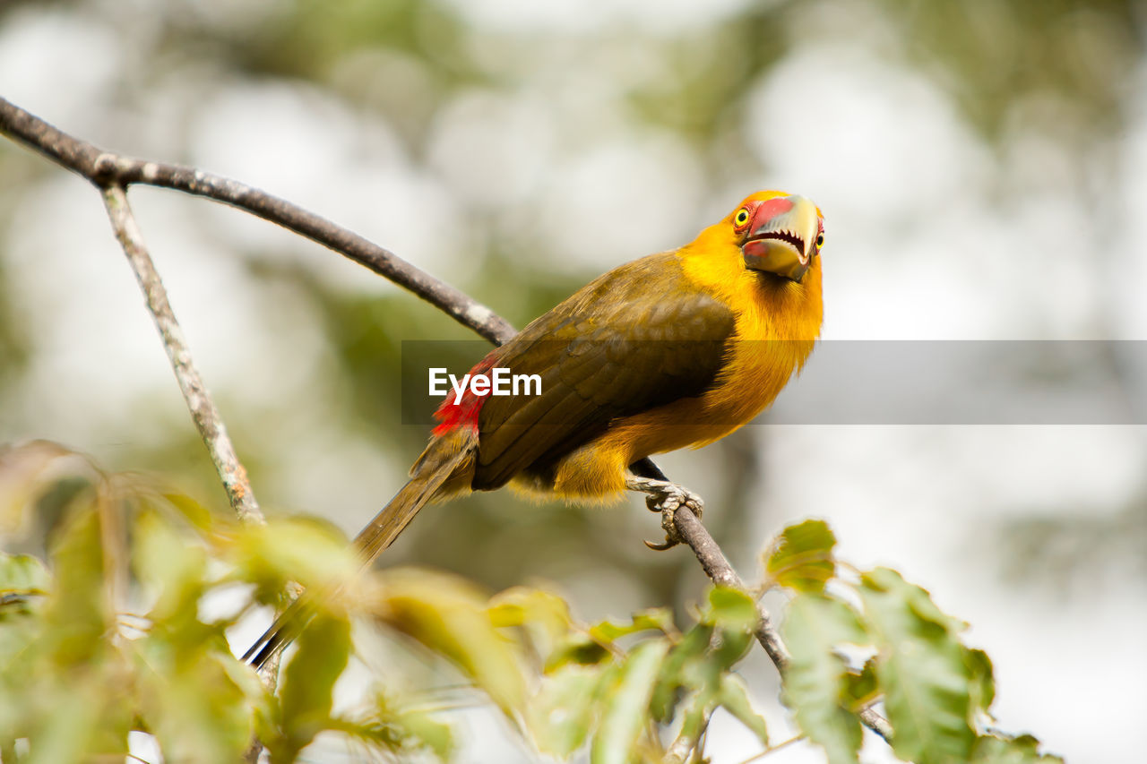animal themes, animal, vertebrate, animal wildlife, one animal, bird, animals in the wild, perching, plant, day, yellow, nature, no people, focus on foreground, selective focus, branch, tree, close-up, beauty in nature, outdoors