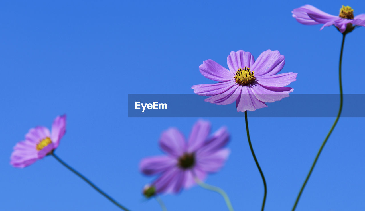Close-up of purple cosmos flowers blooming against sky