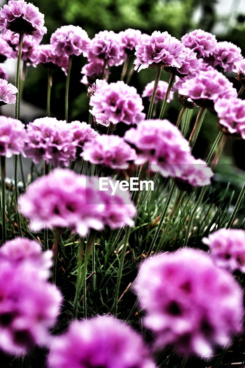 flower, plant, flowering plant, vulnerability, fragility, beauty in nature, growth, freshness, close-up, pink color, petal, flower head, inflorescence, no people, nature, selective focus, day, purple, outdoors, field, spring, lilac