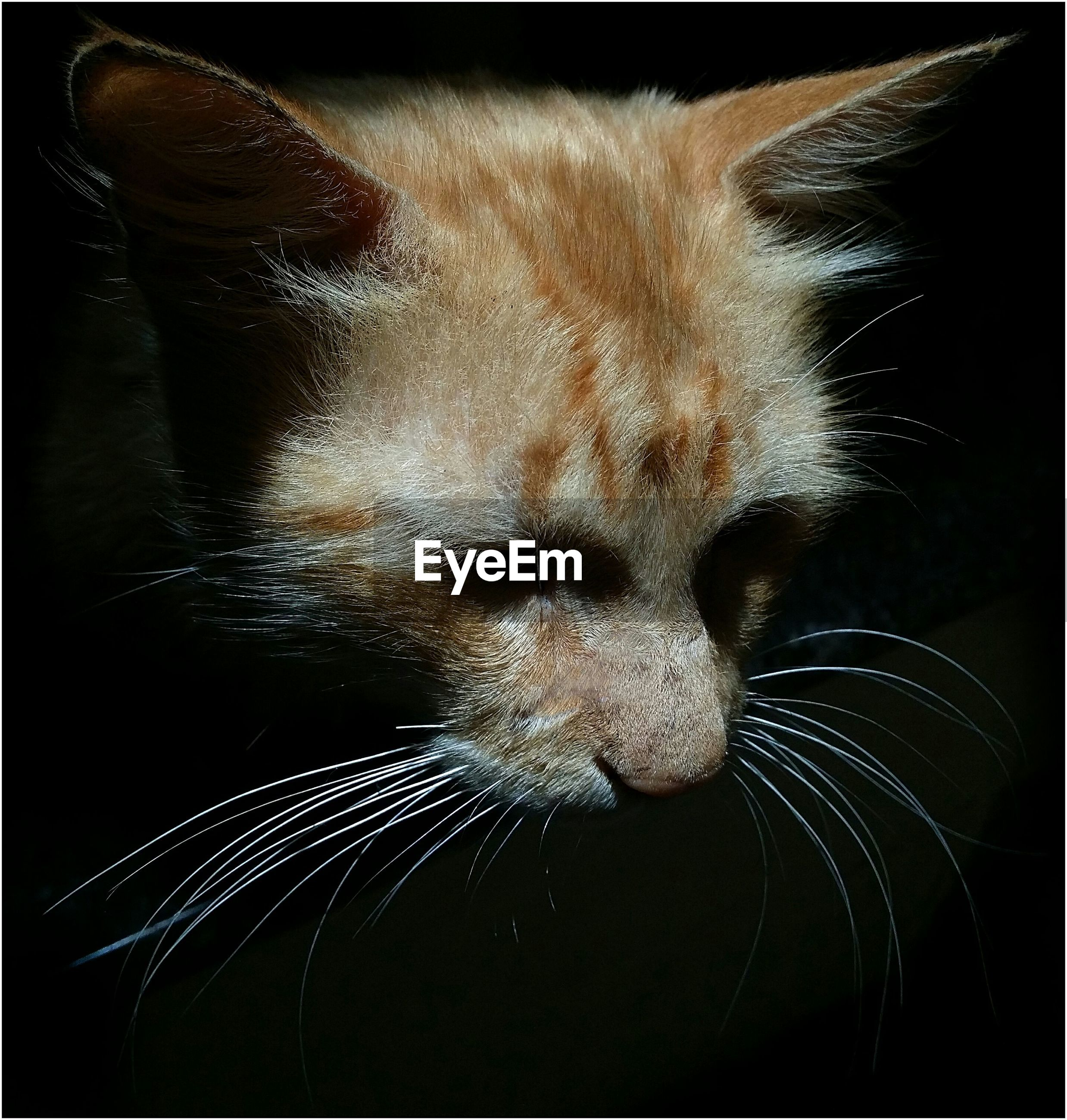 Close-up of brown cat against black background