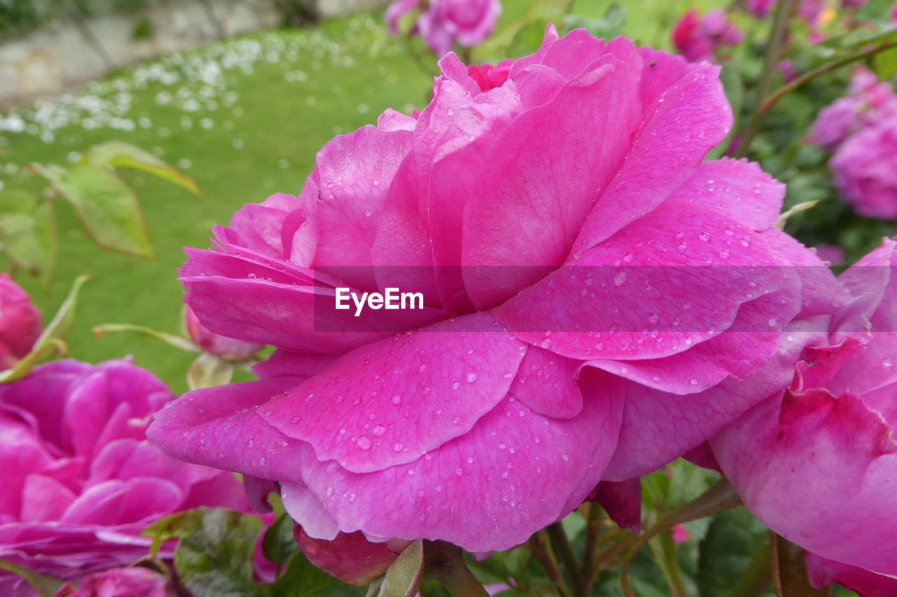 flower, pink color, petal, beauty in nature, nature, drop, growth, wet, fragility, plant, no people, outdoors, water, flower head, blooming, day, close-up, raindrop, freshness, petunia, periwinkle