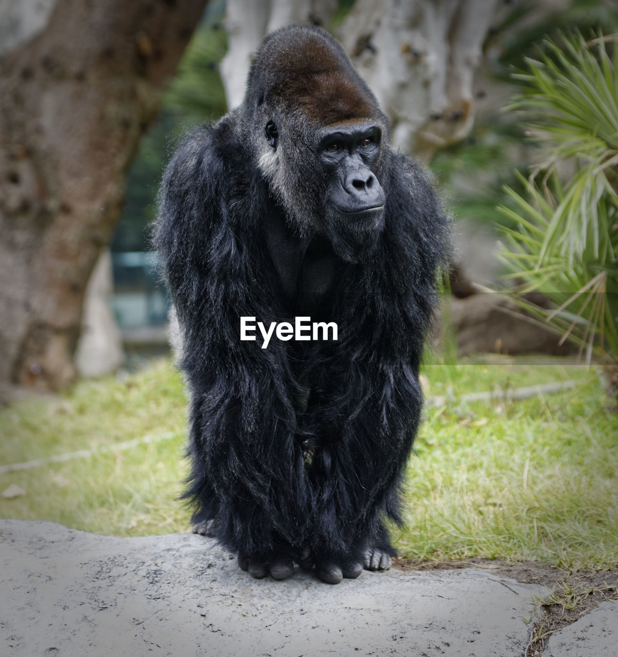 one animal, mammal, primate, animals in the wild, animal wildlife, gorilla, vertebrate, day, ape, black color, nature, no people, plant, full length, sitting, grass, zoo, outdoors