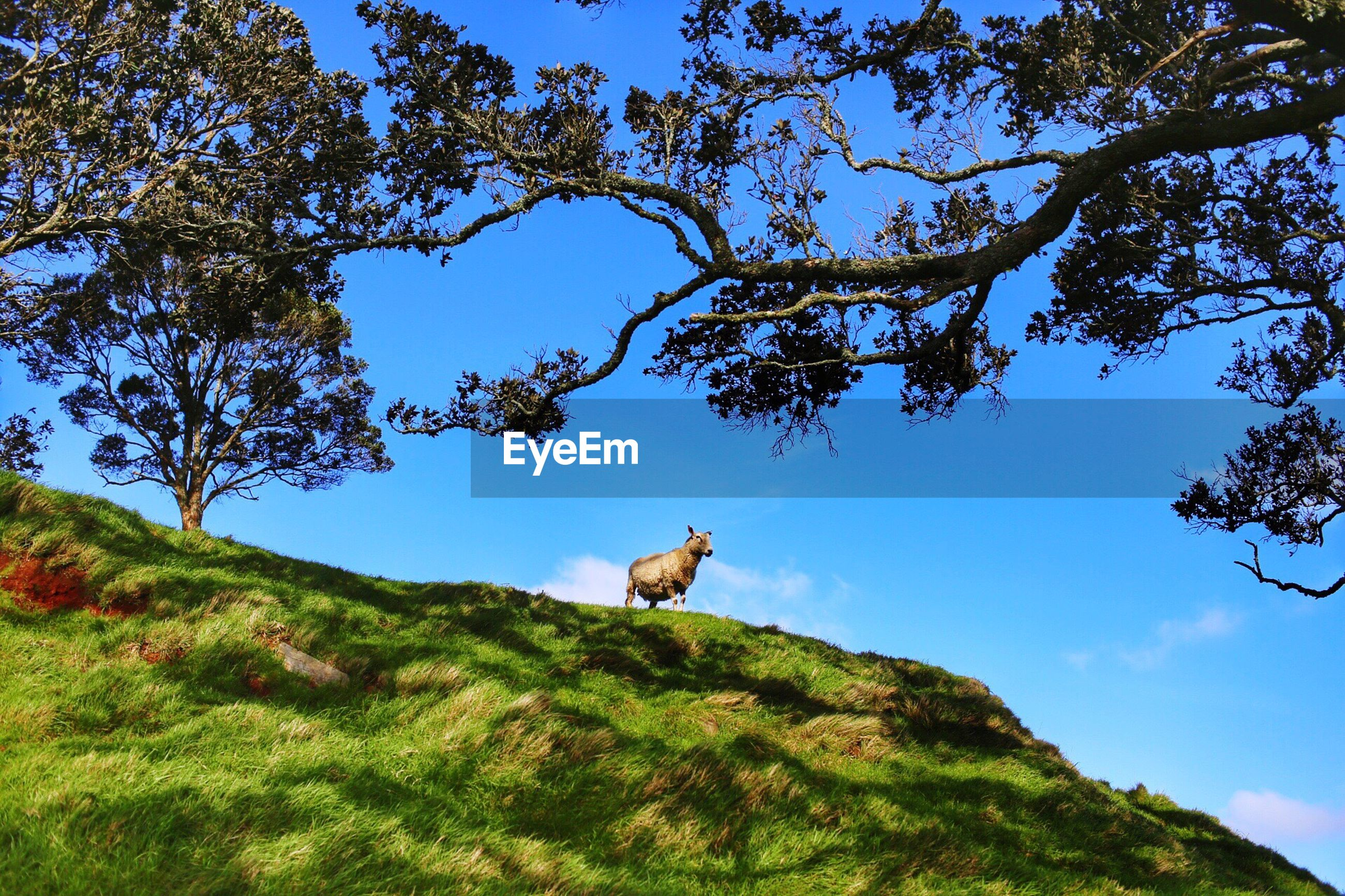 Low angle view of sheep on grassy hill against sky