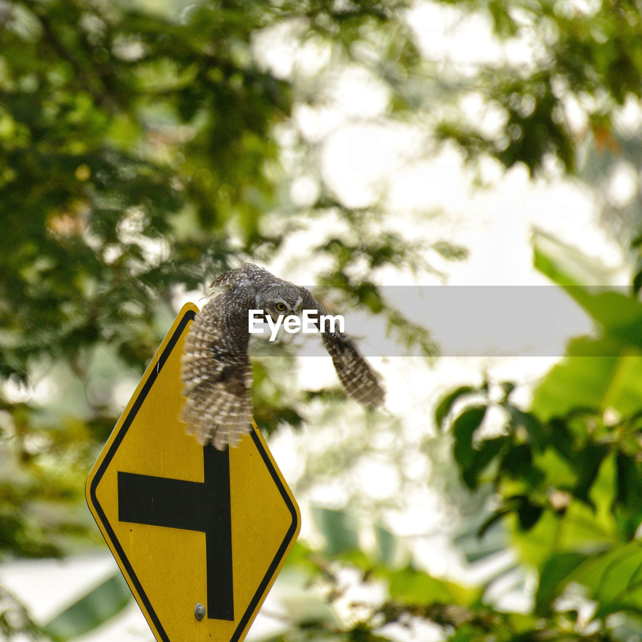 The spotted owlet in nature, amidst large trees in the daytime, during this activity