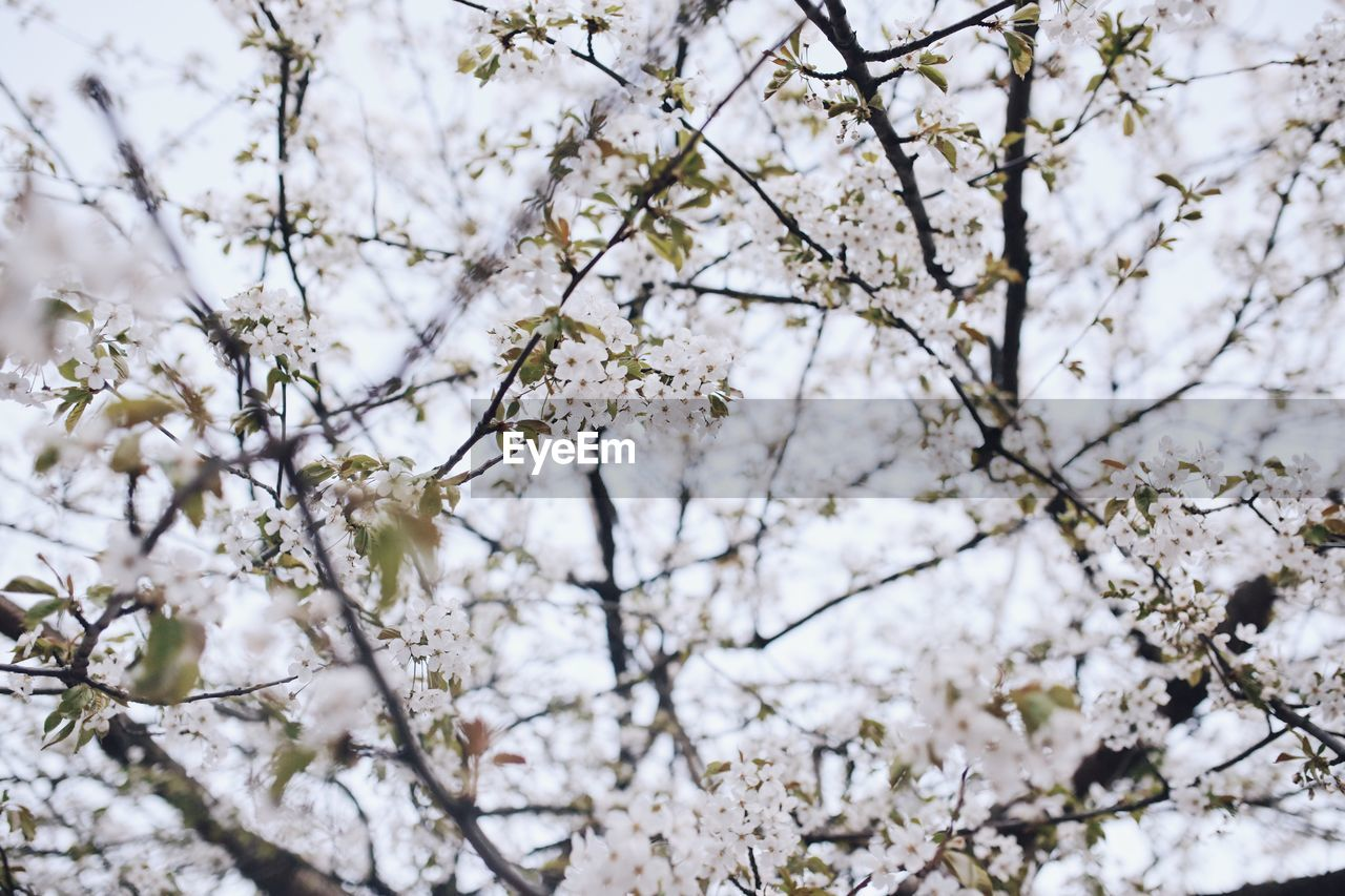 LOW ANGLE VIEW OF APPLE TREE IN SPRING