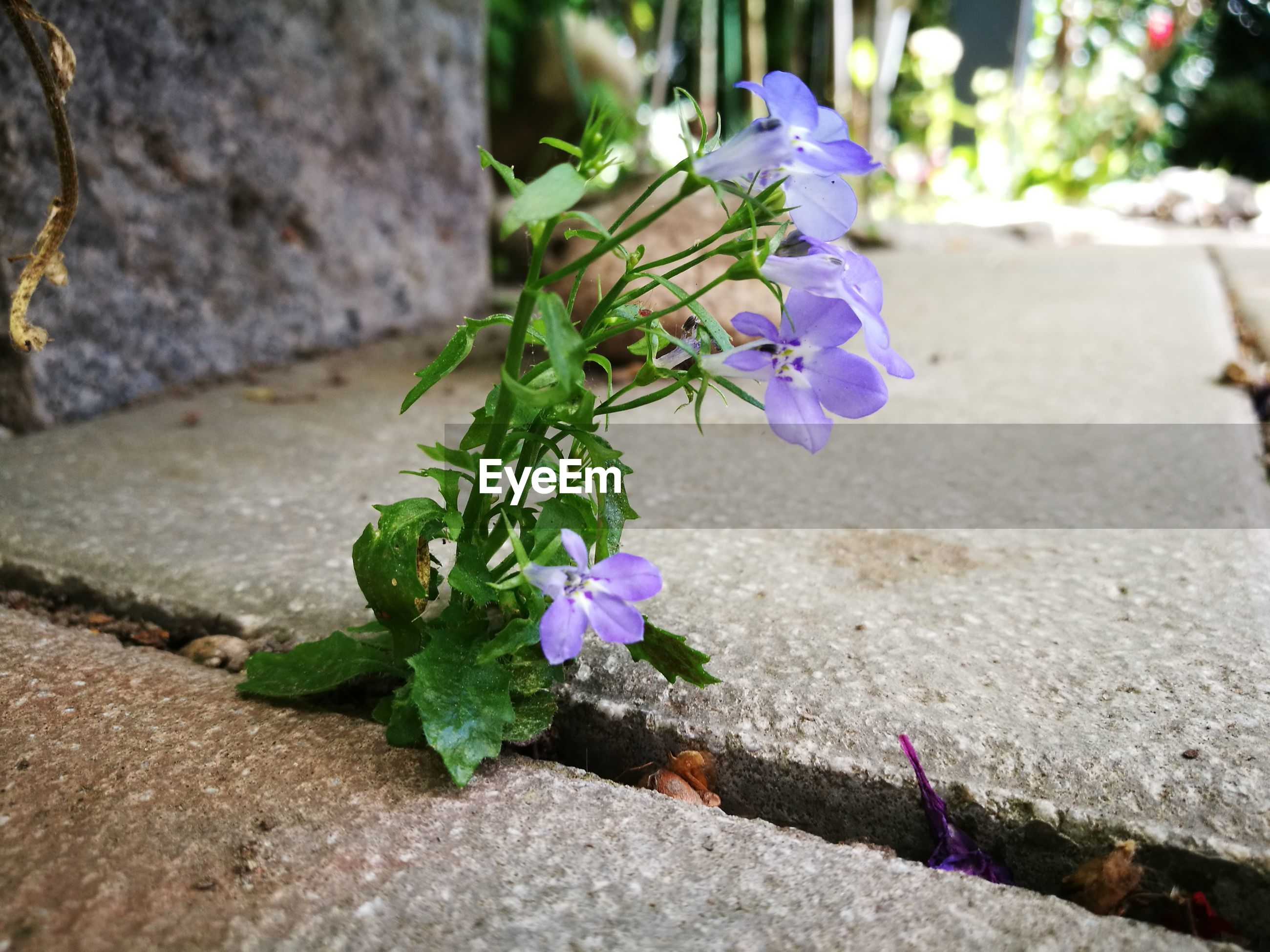 CLOSE-UP OF PURPLE FLOWERING PLANT IN CONCRETE