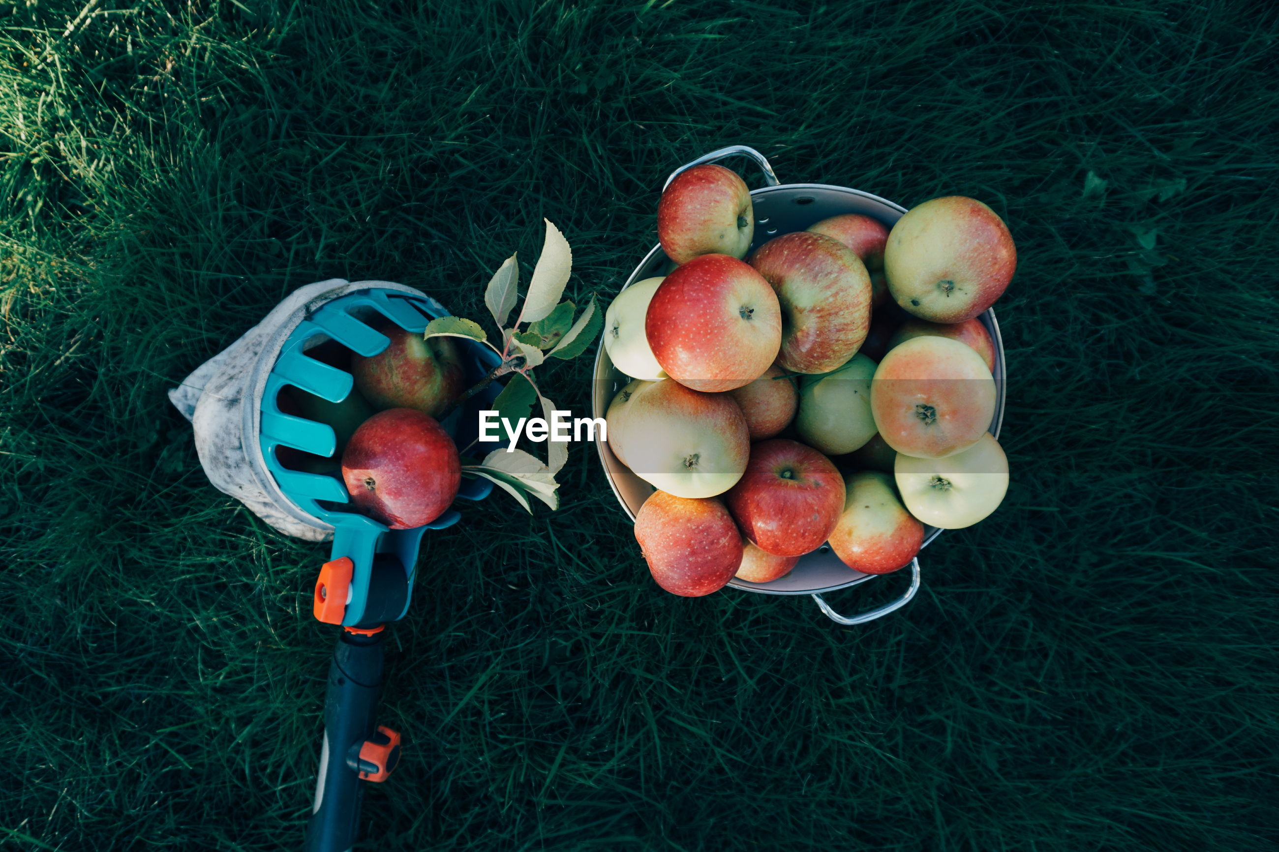 High angle view of apples in bucket on grassy field