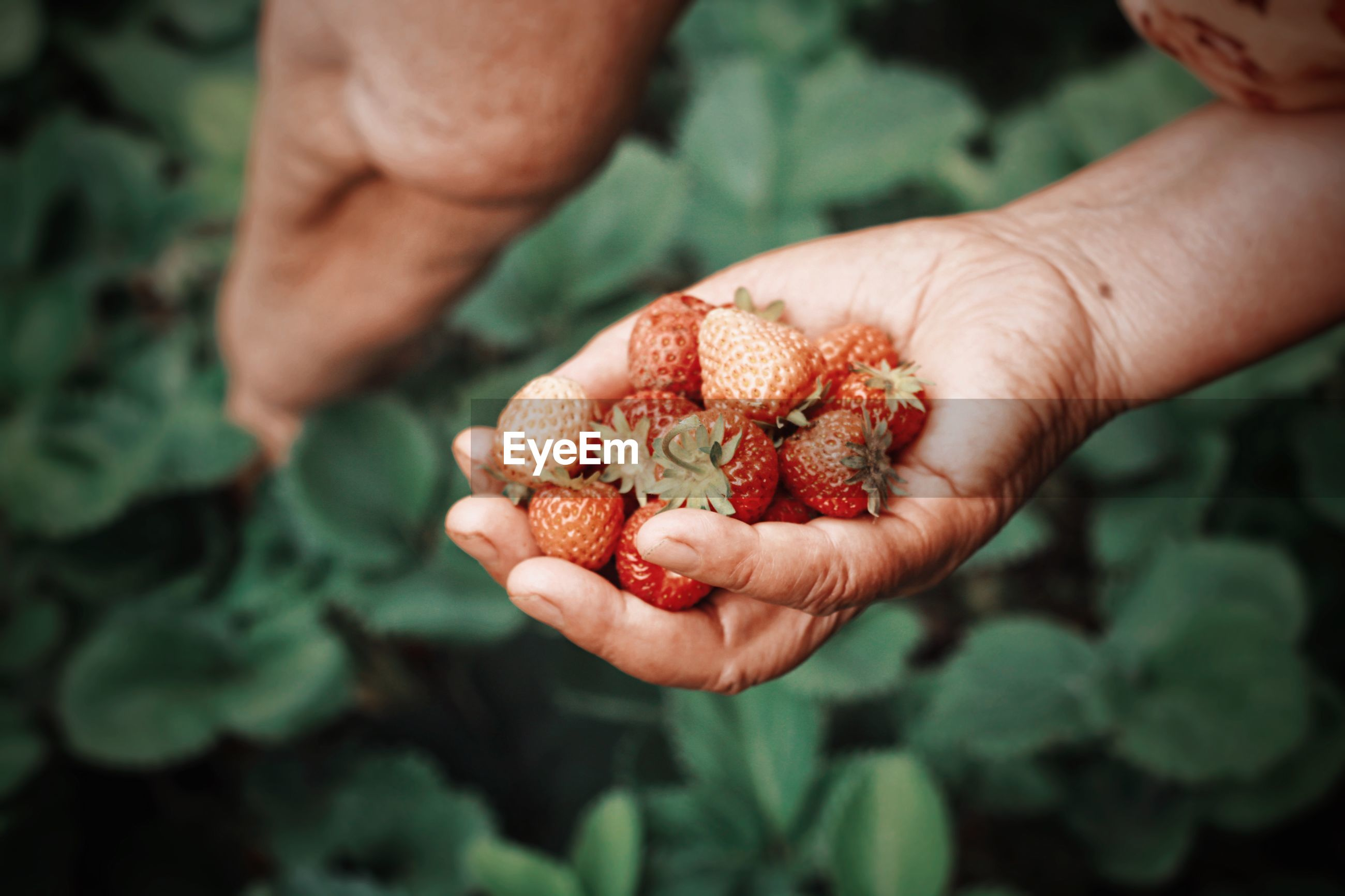 Close-up of cropped hand holding strawberries
