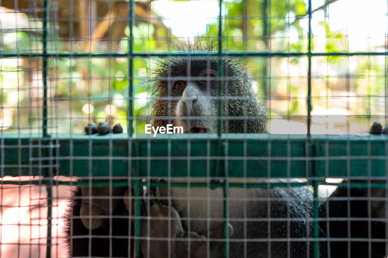 animal themes, animal, cage, primate, monkey, mammal, one animal, animals in captivity, animal wildlife, vertebrate, animals in the wild, looking at camera, day, no people, zoo, portrait, focus on foreground, fence, boundary, metal, animal head, outdoors