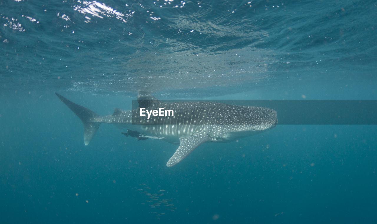 Whale Shark Swimming Undersea
