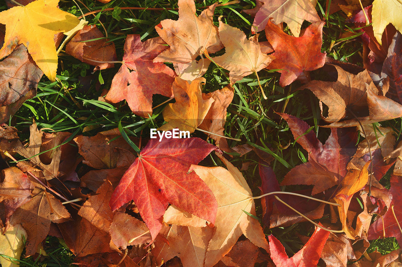 leaf, autumn, change, leaves, nature, dry, maple leaf, outdoors, orange color, maple, day, beauty in nature, fallen, no people, fragility, close-up
