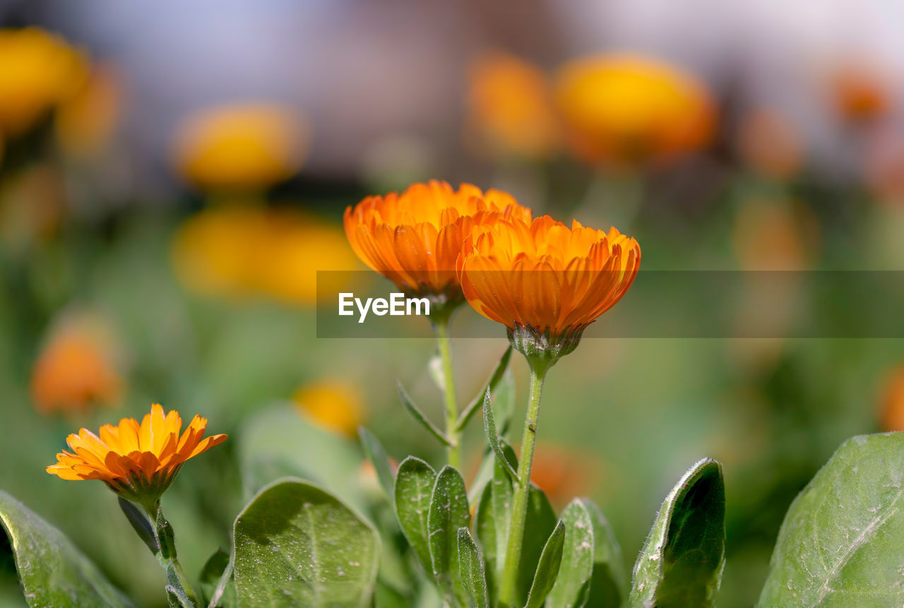 flowering plant, flower, beauty in nature, growth, plant, vulnerability, fragility, freshness, close-up, petal, flower head, inflorescence, focus on foreground, orange color, nature, no people, day, green color, botany, leaf, outdoors, pollen