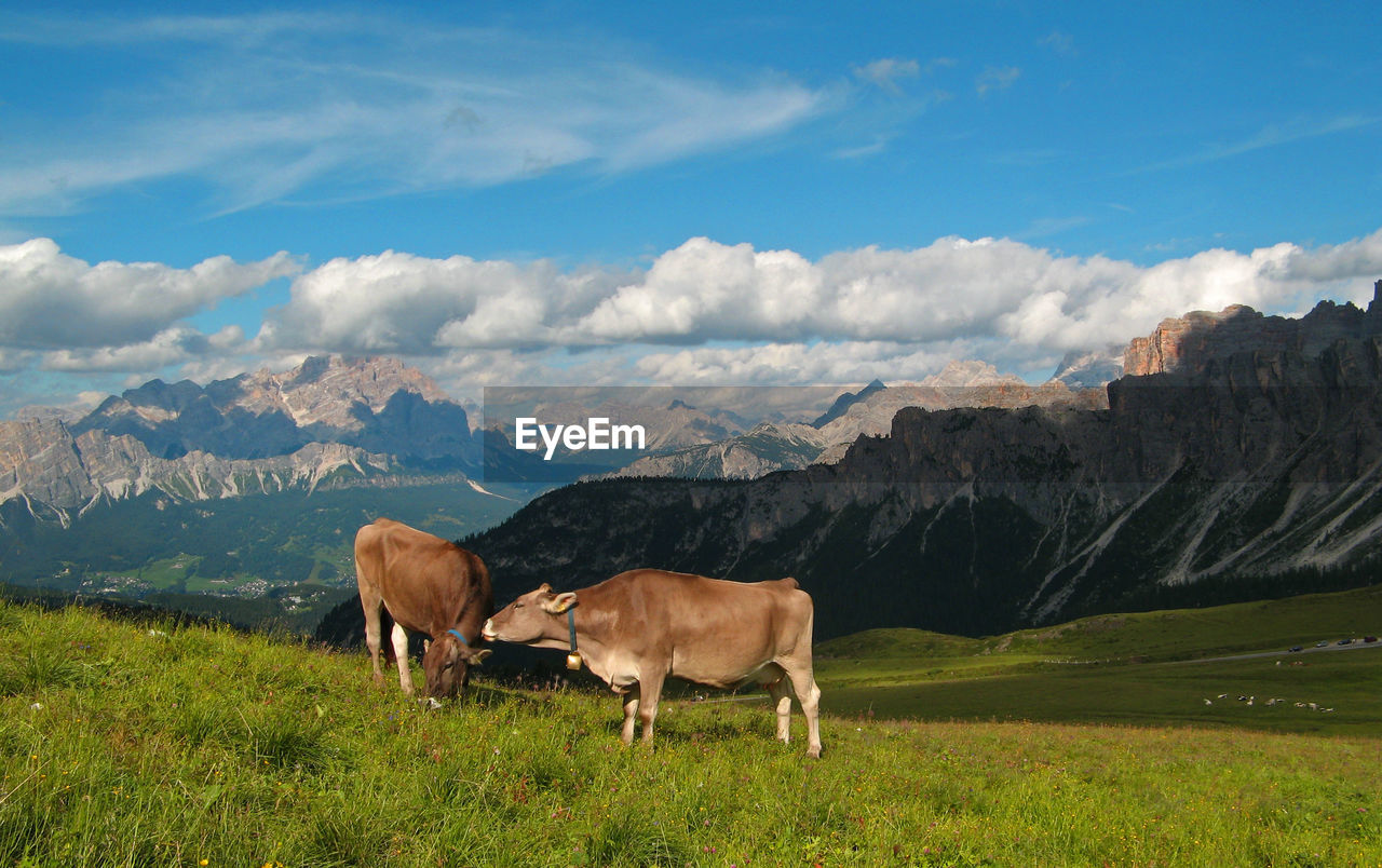 Cows On Grassy Field By Rocky Mountains Against Sky