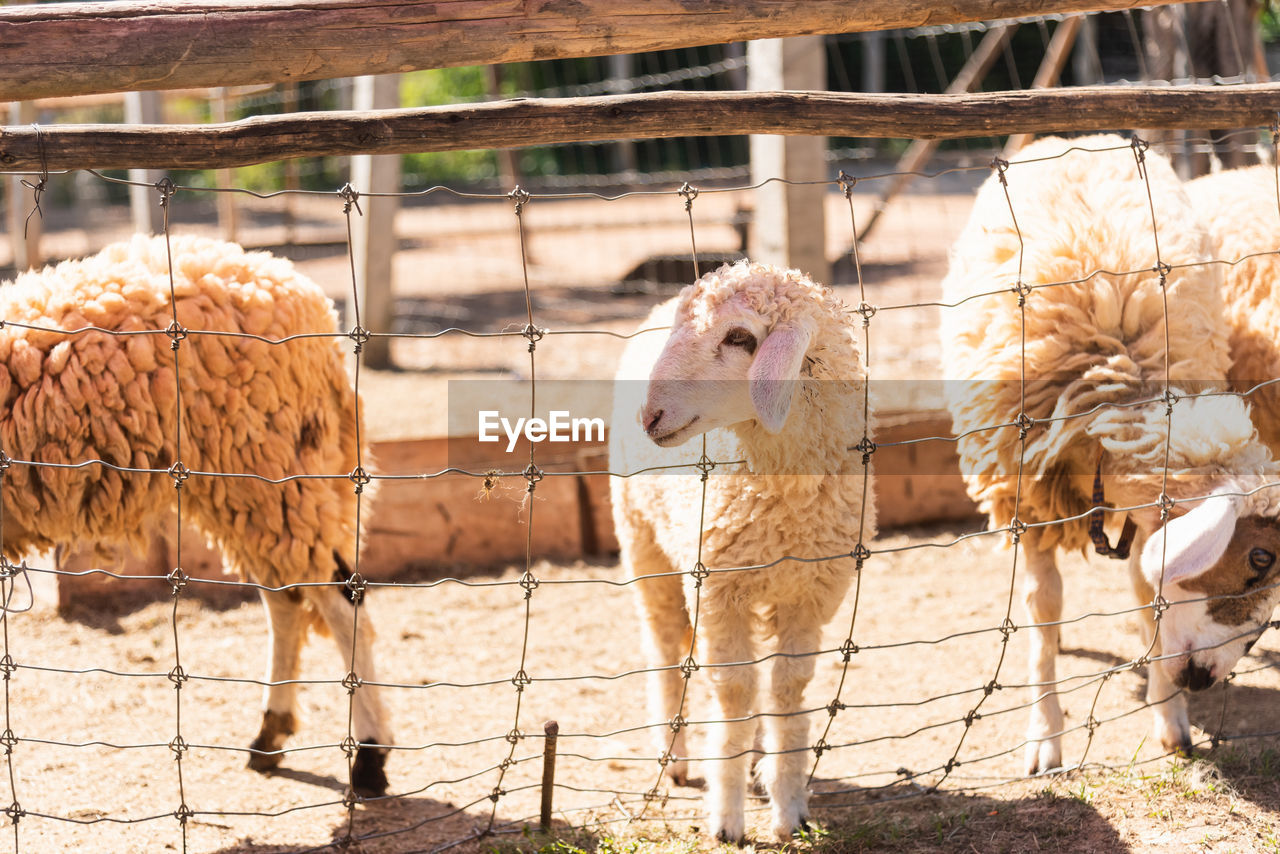 livestock, domestic animals, animal, domestic, pets, animal themes, mammal, group of animals, vertebrate, fence, barrier, boundary, farm, agriculture, day, herbivorous, no people, nature, sheep, sunlight, animal pen, outdoors, ranch
