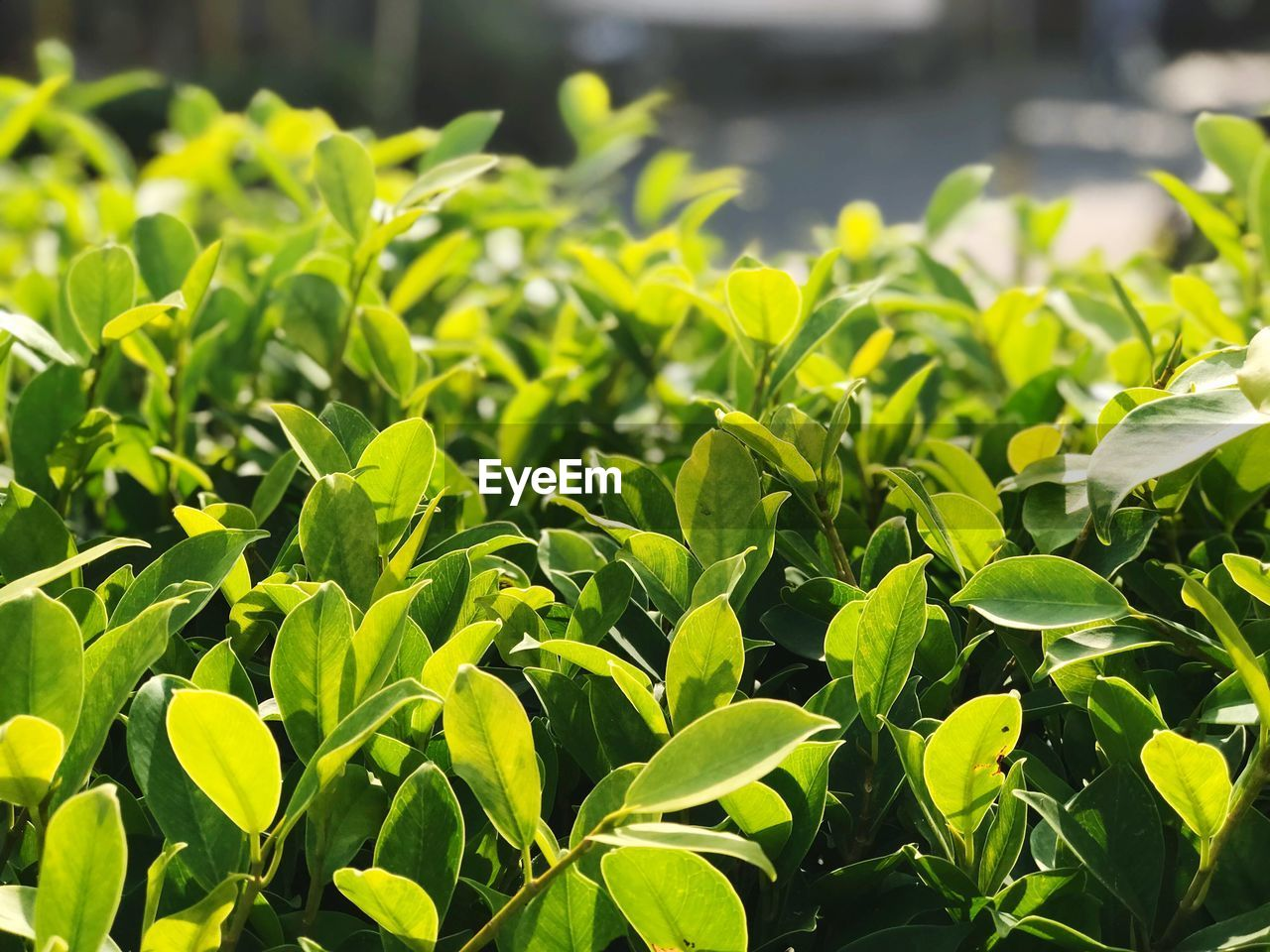 plant part, green color, leaf, growth, plant, beauty in nature, no people, nature, day, close-up, sunlight, outdoors, focus on foreground, field, land, selective focus, freshness, tranquility, vegetable, botany, leaves