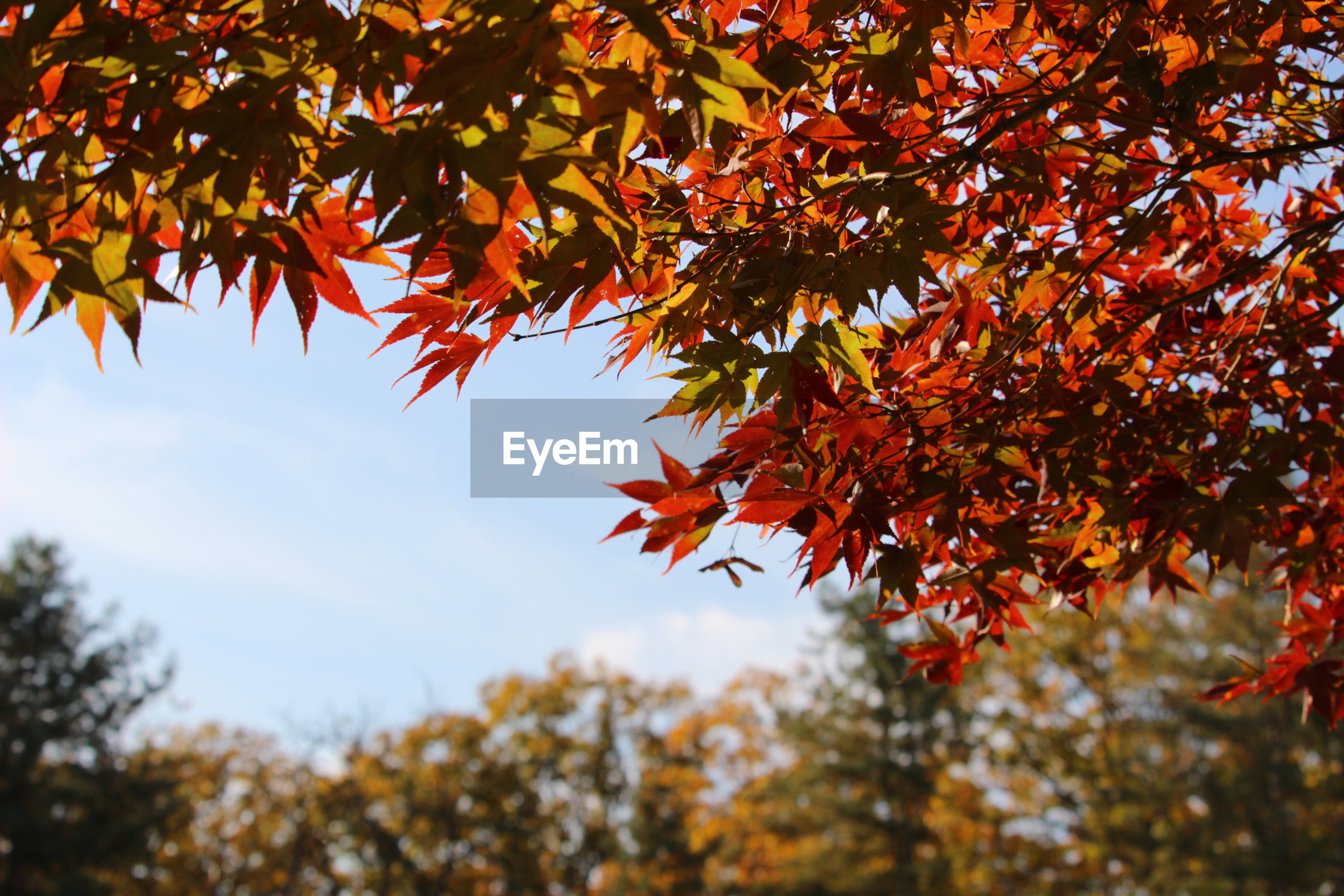 LOW ANGLE VIEW OF MAPLE TREE LEAVES