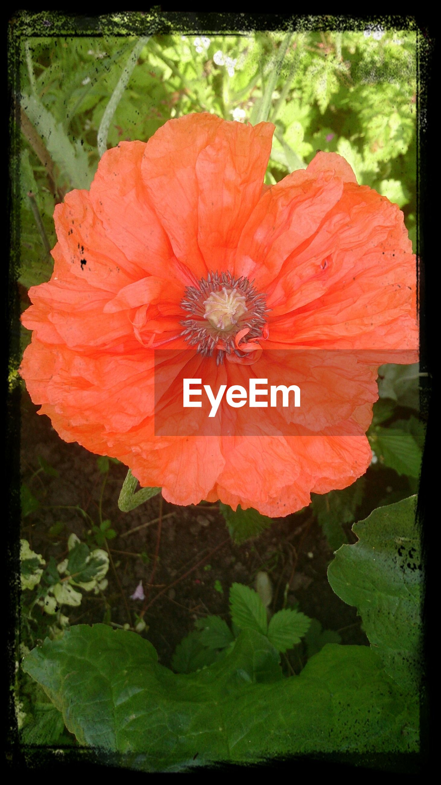 Close-up of orange poppy on field