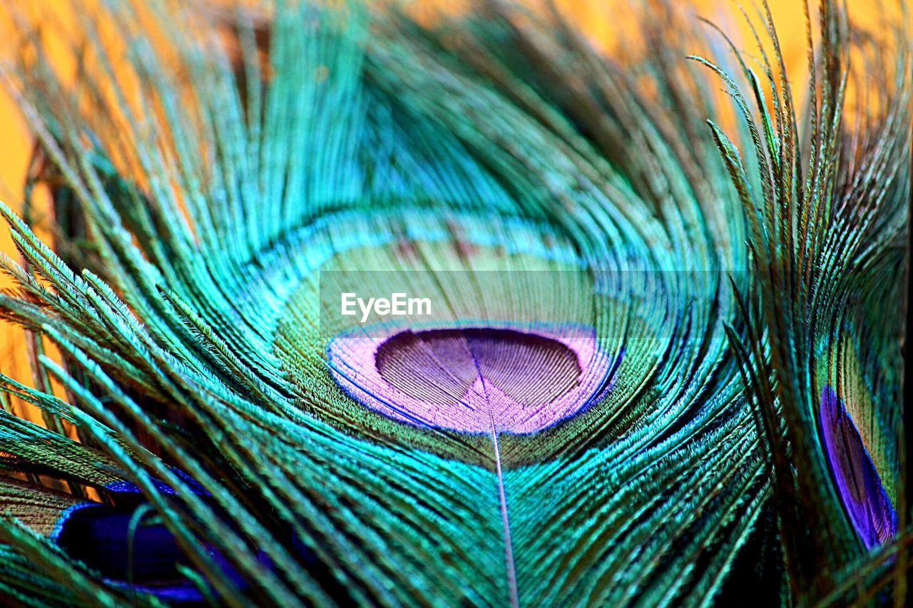 peacock feather, feather, peacock, multi colored, bird, close-up, animal themes, full frame, animal, natural pattern, backgrounds, no people, vulnerability, softness, blue, fragility, beauty in nature, pattern, green color, vertebrate, purple, outdoors, lightweight, ornate